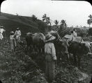 Martinique Farm Scene