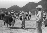 Walter Holland with microphone standing in front of bull while explaining Rancho Sacatal operations
