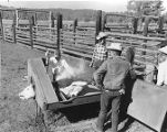 Cowboys branding calf in a rack on Kel Fox's Ranch