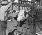 Cowboy (Frank S. Boice) secures cow in rack prior to branding
