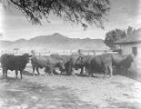 Barzona cattle at Bard Ranch, Kirkland, Arizona