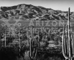 Saguaro National Monument near Tucson, Arizona.