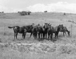 Photograph of horses on the Cowden Ranch in Arizona