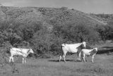 Photograph of Charolais Cattle on an Arizona ranch