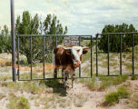"Photograph/humorous image of a bull stuck in a fence with a sign """"For Sale by Owner..."