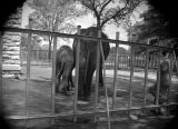 Photograph of elephants in an unidentified zoo.