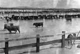 Photograph of cattle wading through floodwater in Eloy (Ariz.)