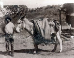 Photograph of a mule with a water carrier in Bisbee (Ariz.)