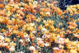 Photograph of African Daisies at the Desert Botanical Gardens in Phoenix (Ariz.).