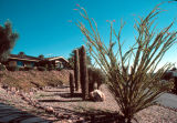 Photograph of Organ Pipe Cactus and Yucca at the Desert Botanical Gardens in Phoenix (Ariz.).