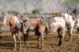 Photograph of horses on a ranch in Tanque Verde, near Tucson (Ariz.).