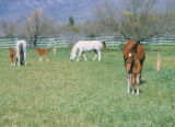 Photograph of horses grazing at Al Marah Ranch in Tucson (Ariz.)