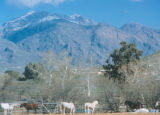 Photograph of horses grazing at Al Marah Ranch, Tanque Verde in Tucson (Ariz.).