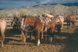 Photograph of horses at Al Marah Ranch, Tanque Verde in Tucson (Ariz.).