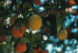 Photograph of citrus growing at a University of Arizona Agricultural site in Mesa (Ariz.).