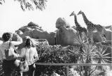 Photograph of giraffes at the Phoenix Zoo in Phoenix (Ariz.).