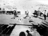 Photograph of cowboys branding cattle in Arizona.