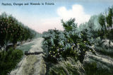Photograph/colorized postcard of an orchard featuring peach, orange and almond trees in Arizona.
