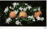Photograph/colorized postcard of orange and orange blossoms