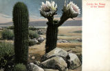 Photograph/colorized postcard of a cactus in bloom