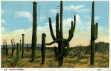 Photograph/colorized postcards of saguaro cactus with a colorful sunset in the background