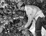 Photograph of a farm laborer picking cotton, probably in southern Arizona