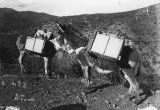 Photograph of two mules laden with equipment, in Arizona
